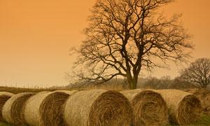 大树与打包成捆的秸秆摄影高清图片