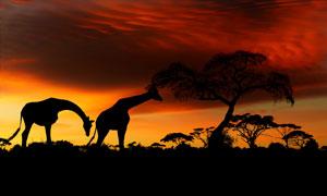 黄昏晚霞风光与长颈鹿剪影高清图片
