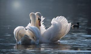 水面上的一对天鹅特写摄影高清图片
