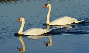 平静湖面上游水的天鹅摄影高清图片