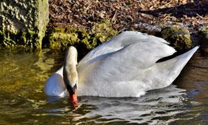水中觅食的白天鹅特写摄影高清图片