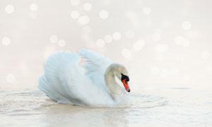 水面上的一只优雅白色天鹅高清图片