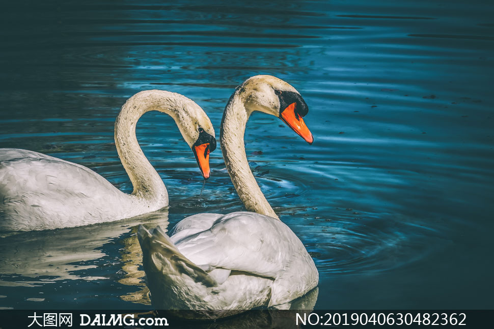 湖面上的两只天鹅特写摄影高清图片