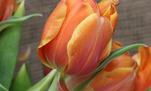 花香扑鼻的郁金香花朵摄影高清图片