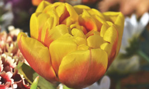 百花丛中黄色花朵特写摄影高清图片