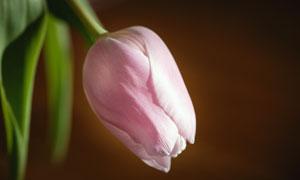 春暖花开时的粉红色郁金香高清图片