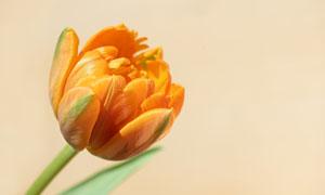 橙色的郁金香花卉特写摄影高清图片