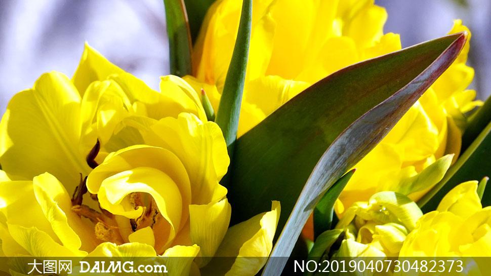 鲜艳盛开着的黄花特写摄影高清图片