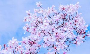 蓝天白天粉白色的花朵摄影高清图片