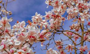 蓝天白云与盛开的鲜花摄影高清图片