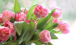 绿叶衬托的粉红郁金香摄影高清图片