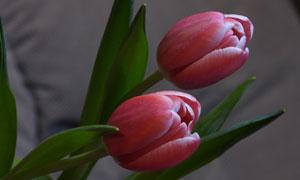 红色的郁金香花苞特写摄影高清图片
