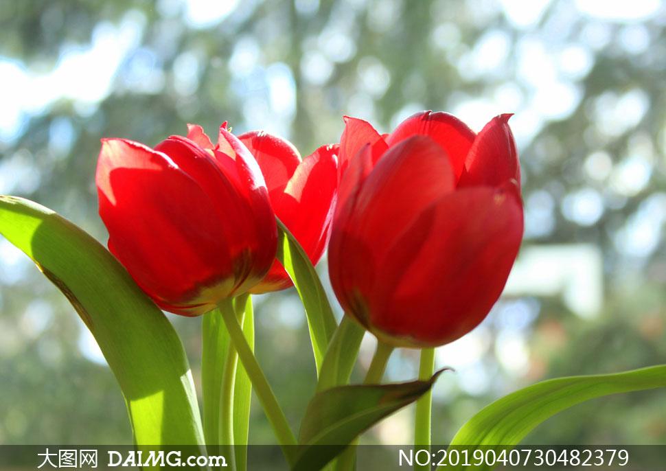红色郁金香花逆光散景效果高清图片
