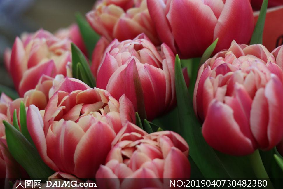 在慢慢绽放的郁金香花摄影高清图片
