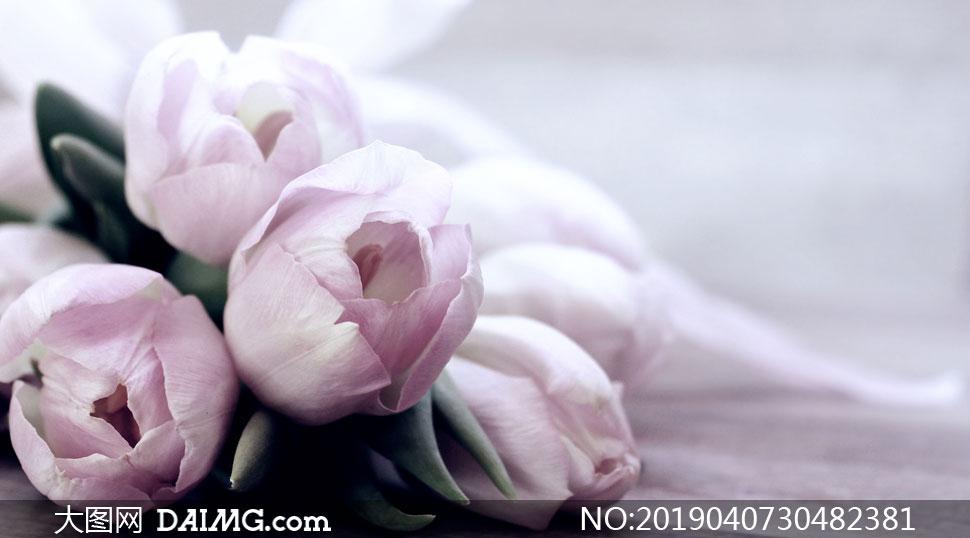 淡淡粉色的郁金香花朵摄影高清图片