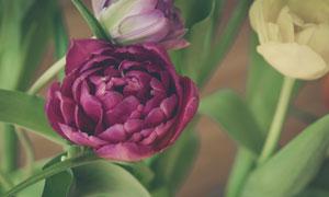 还在盛开的深红色花朵摄影高清图片