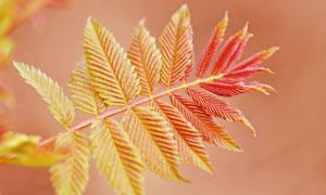 长出红嫩叶的树叶特写摄影高清图片