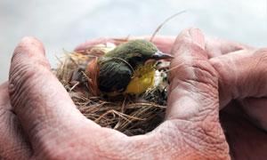 拿在手中的鸟窝与小鸟摄影高清图片