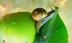 爬在苹果上的蜗牛特写摄影高清图片