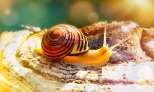 贝壳上爬着的蜗牛特写摄影高清图片