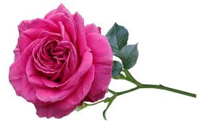 绿叶玫瑰花朵主题免抠创意高清图片