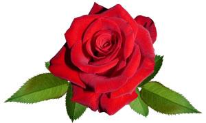 鲜红色的玫瑰花朵免抠PNG图片素材