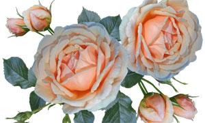 鲜花与玫瑰花花苞主题免抠图片素材