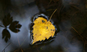 水面上的一枚树叶特写摄影高清图片