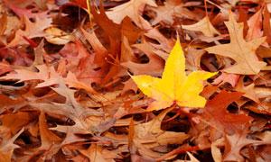 黄叶与落在地上的红叶摄影高清图片