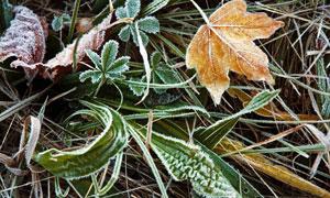 冰霜天气落叶植物特写摄影高清图片
