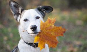 嘴里叼着一片树叶的狗摄影高清图片