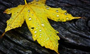 木板上着带水珠的落叶摄影高清图片