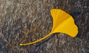 石头上的银杏叶子特写摄影高清图片
