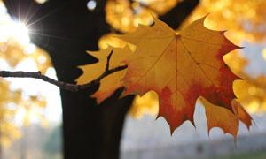 挂在大树上的叶子特写摄影高清图片