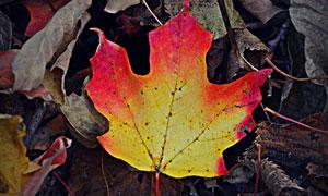 红色边的枯叶近景特写摄影高清图片