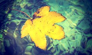 泛着波光水面上的黄叶摄影高清图片
