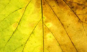透光效果树叶叶脉微距摄影高清图片