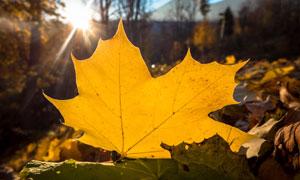 地面上的一片发黄树叶逆光摄影图片