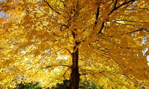 被秋色染黄的一棵大树摄影高清图片