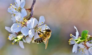 把引来蜜蜂采蜜的樱花摄影高清图片