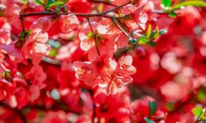 树枝上分外红的红色花摄影高清图片