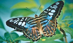 绿叶上的一只蝴蝶特写摄影高清图片