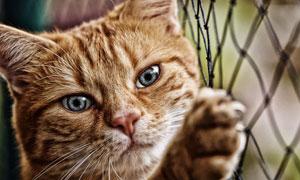 扒着篱笆的可爱猫特写摄影高清图片