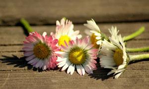 木板上的幾朵菊花特寫攝影高清圖片