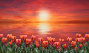 海景霞光与郁金香植物摄影高清图片