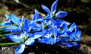 擺在木頭上的藍色花朵攝影高清圖片