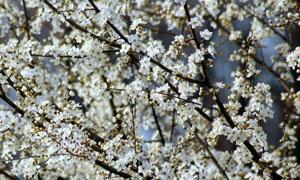 春天里纷纷绽放的樱花摄影高清图片