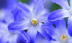 花期綻放的藍色花特寫攝影高清圖片