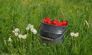 杂草丛与铁桶里的草莓摄影高清图片