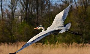展翅高飞的大蓝鹭特写摄影高清图片